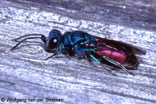 Goldwespe Chrysis solida Weibchen